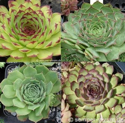 Sempervivum tectorum Sortiment