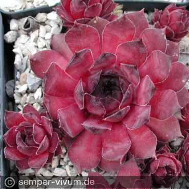 Sempervivum 'Black Claret'