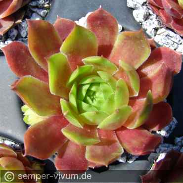 Sempervivum 'Cockoo'