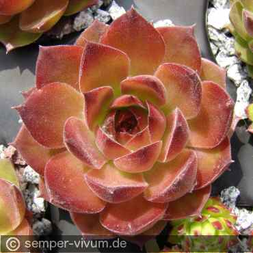 Sempervivum 'One Hundred'