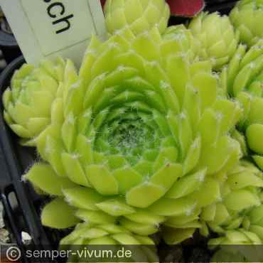 Sempervivum 'Quatsch'