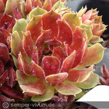 Sempervivum 'Raspberry Ripples'
