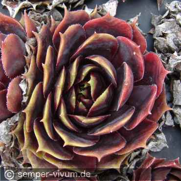 Sempervivum 'Raven Heart'