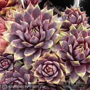 Sempervivum 'Traffic Lights'