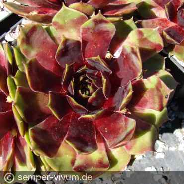 Sempervivum 'Wax Lyrical'